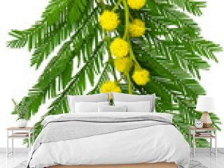 Twig of mimosa with fluffy yellow flowers and green leaves on white background