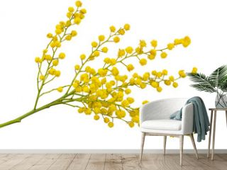 Twig of mimosa with fluffy yellow flowers isolated on white background