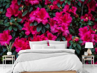 pink azaleas in the garden