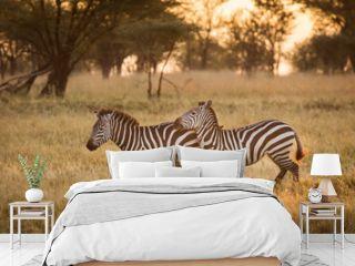African zebras at beautiful landscape during sunrise safari in the Serengeti National Park. Tanzania. Wild nature of Africa..