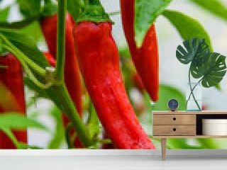 Red hot chili peppers growing in a garden