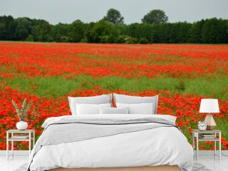 red poppies on the meadow in summer, red poppies