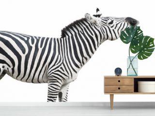 Zebra singing isolated over white background