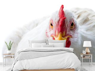 Close-up of white chicken looking at camera in studio