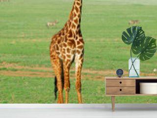 Young giraffe standing in savannah