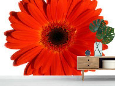 orange gerbera flower isolated