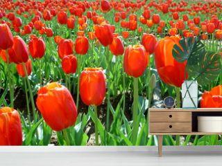 champ de fleurs tulipes rouges