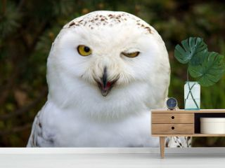 snow owl winking
