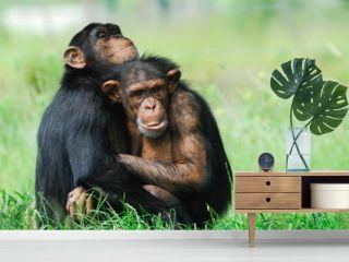 two cute chimpanzees
