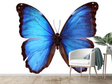 Blue Morpho butterfly (Morpho godarti)