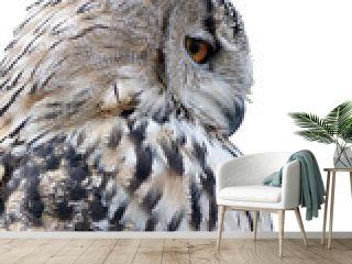 grey owl isolated on white background