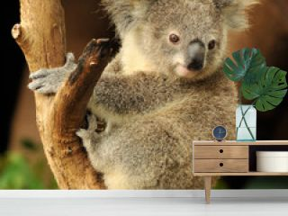 Koala joey sits on a branch