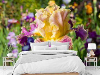 Yellow and purple iris on garden background