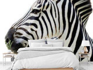 Grant's zebra (Equus quagga boehmi) isolated