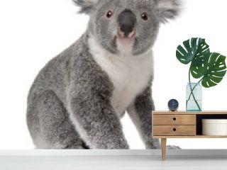 Side view of Young koala, Phascolarctos cinereus, sitting