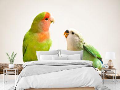 peach-faces lovebird