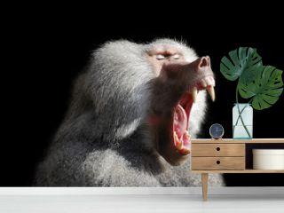 Wild baboon