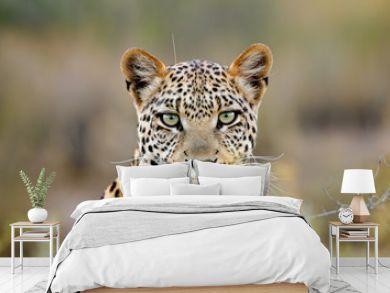 Leopard portrait, Kalahari desert, South Africa