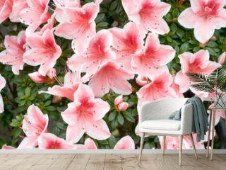 Azalea (Rhododendron simsii 'Mevrouw Gerard Kint')