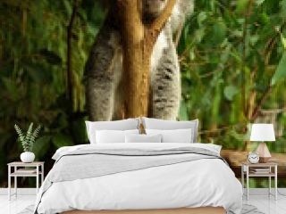 Koala au repos
