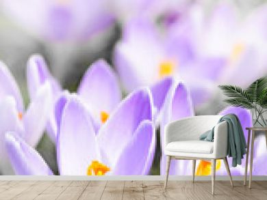 Purple crocus blossoms