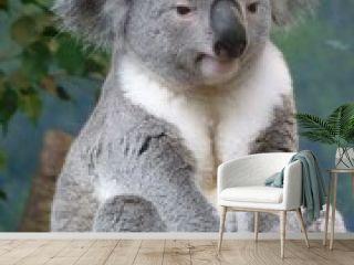koala assis