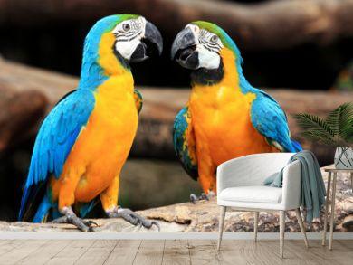 Couple blue-and-yellow macaws (Ara ararauna)