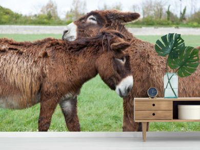 Verliebte Poitou Esel