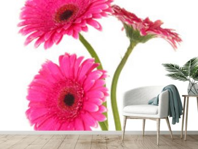Beautiful pink gerbera flowers isolated on white