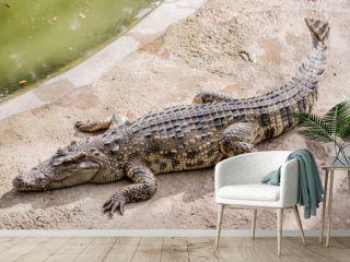 Crocodile in Thailand Farm.