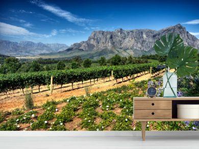 Vineyard in stellenbosch, South Africa