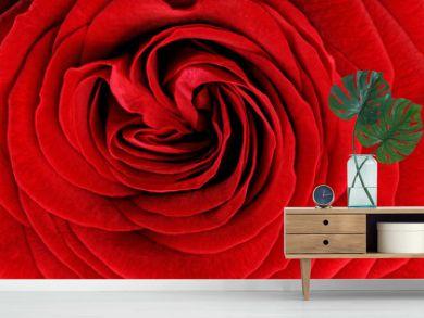 Beautiful red  rose flower. Closeup.