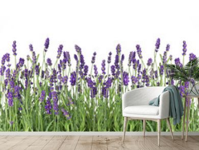 fresh lavender flowers isolated on white