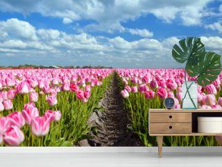 pink tulip fields in sprind