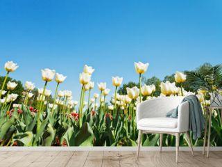 ornamental tulips on flower field on blue sky