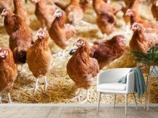 Chickens on the farm, free range farming
