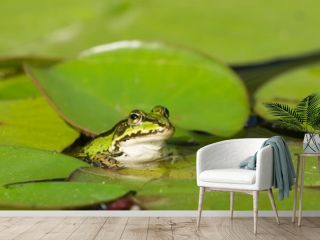 Green frog in the water between water lily leafs