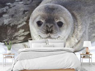 little pup Weddell seals which lies near the female