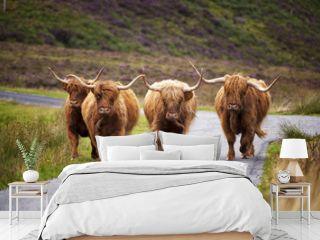 Scottish Cow II