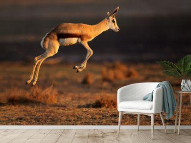 Springbok antelope jumping