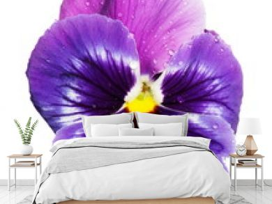 blue violet pansy isolated on white background