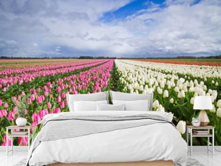 White and pink Tulips on a field
