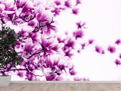 Magnolia flower blossom