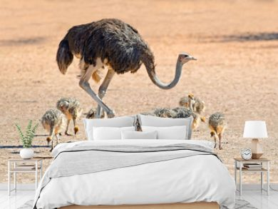 Ostrich with chicks, Kalahari desert