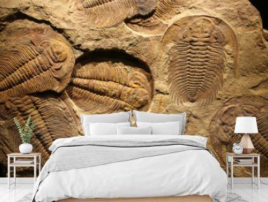fossil trilobite imprint in the sediment.