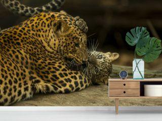 Sri Lankaanse panter welp speelt met moeder.