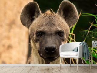 The spotted hyena. Crocuta crocuta