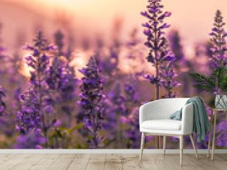 Violet lavender field background on sunset.