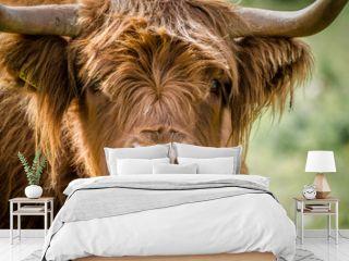 Scottish Highland Cattle (cow)