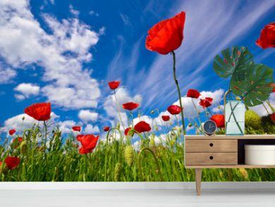 Beautiful red poppy flowers field in summertime background